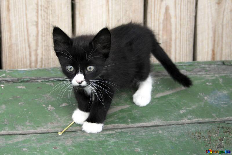 kittens black white kitten