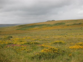 Gorse and Moorland Heather
