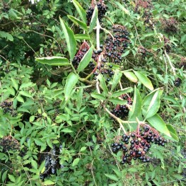 Anyone for wine? Elderberries