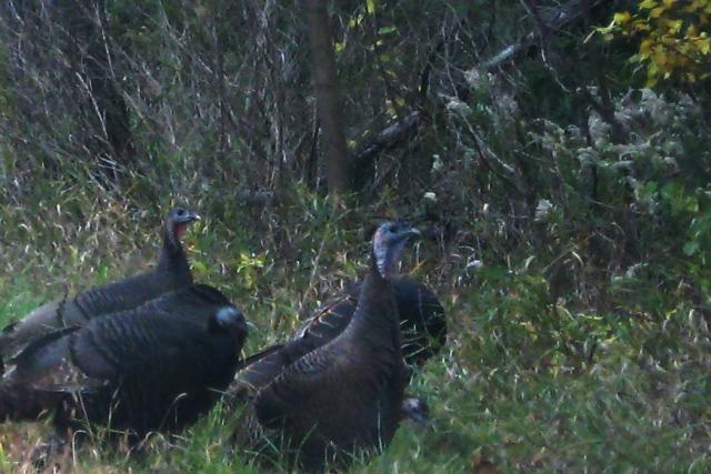 Wild Turkeys near Birch Lake