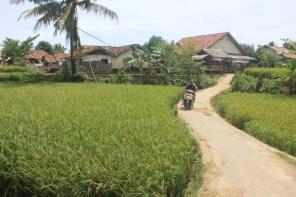 Sawah di Desa Sawarna