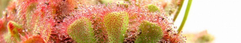 cropped-cropped-Drosera-aliceae-2-1.jpg