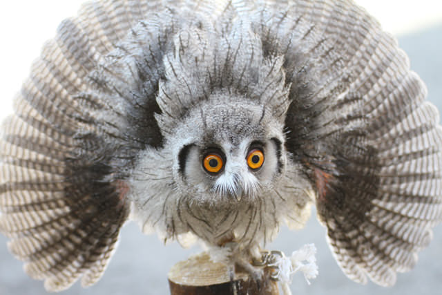 Northern-White-faced-Owl0