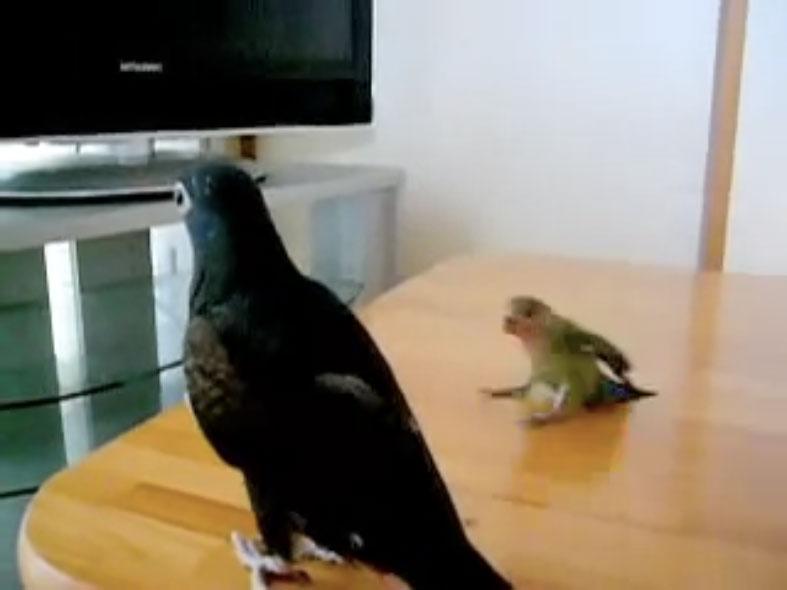 Parrots06