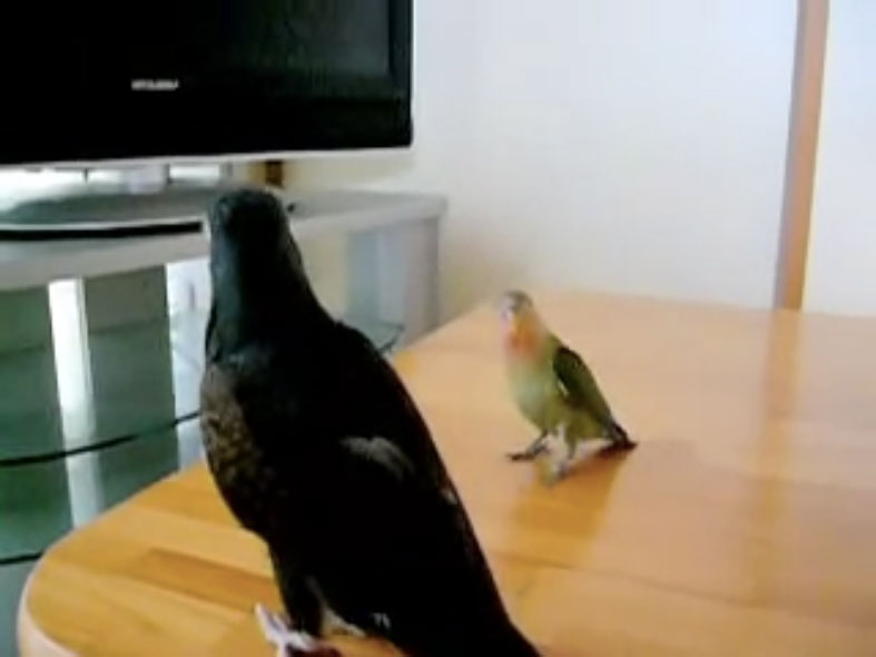 Parrots08