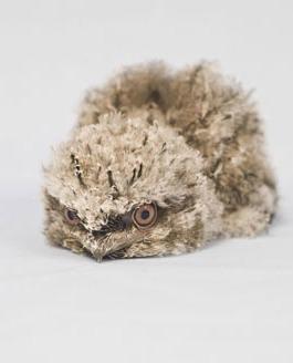 Tawny-Frogmouth04
