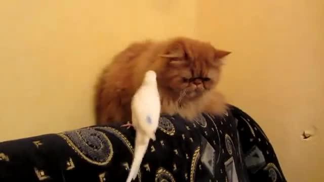 parakeet-and-cat07