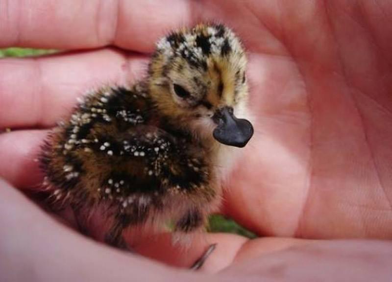 手にすっぽり入るヘラシギの赤ちゃん
