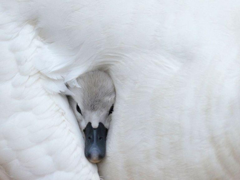 とっても可愛い白鳥のヒナ