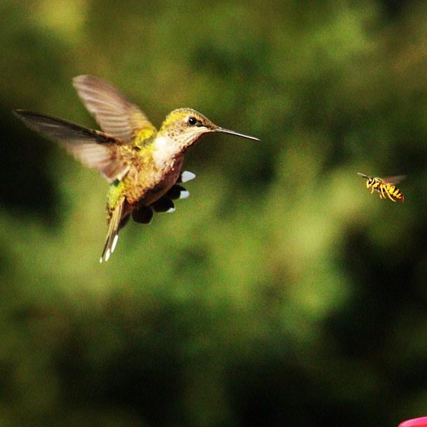 ハチドリ、ハチと遭遇その1