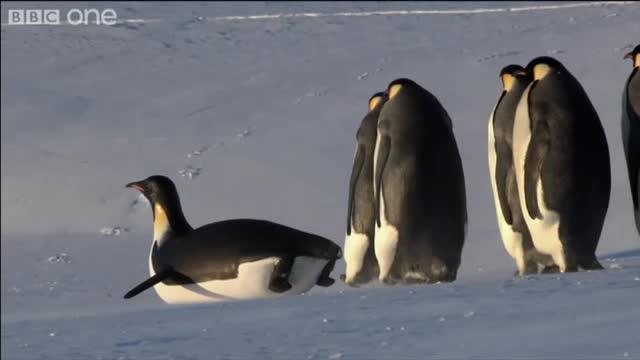 emperor penguins03
