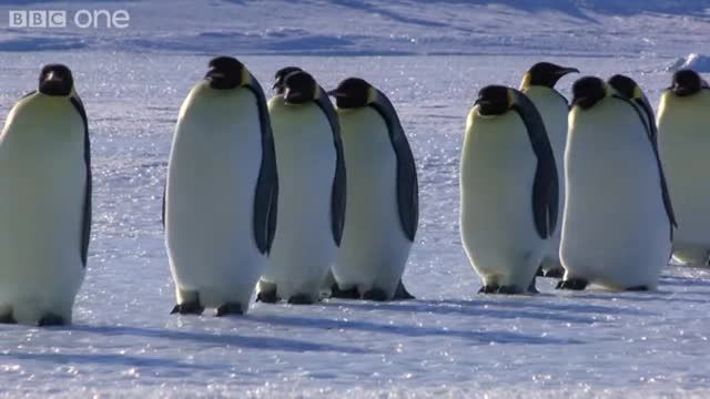 emperor penguins04