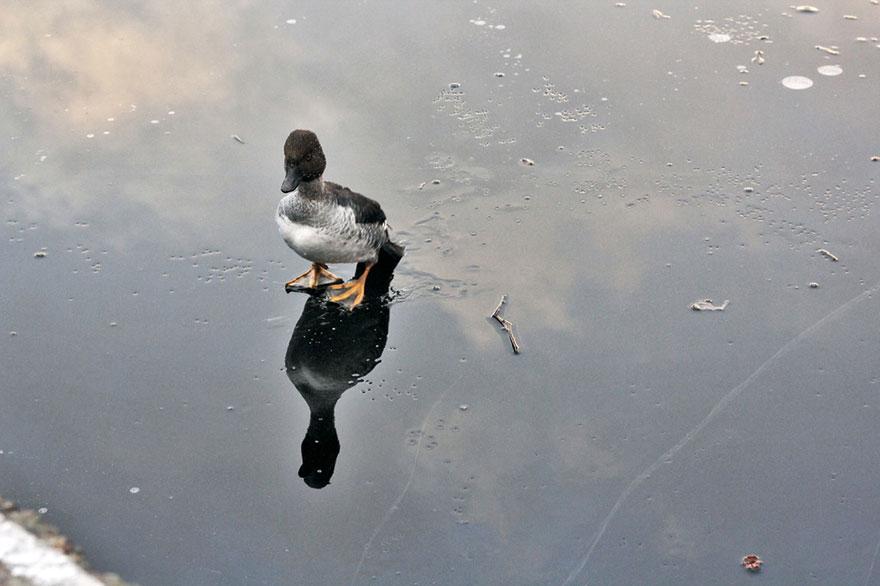 duck-rescue01