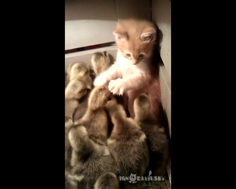 03-暖かそうな箱を見つけた子ネコ!中はアヒルのヒナでたくさんだった!