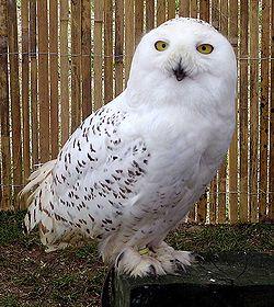 250px-Snowy.owl.overall.arp.750pix