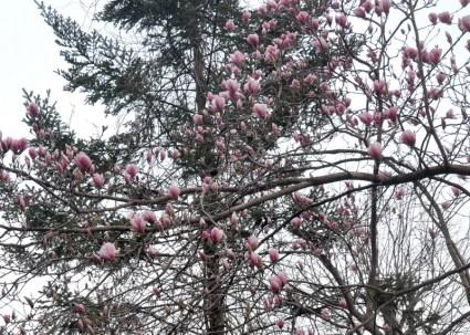 magnolia2r