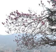 magnoliar