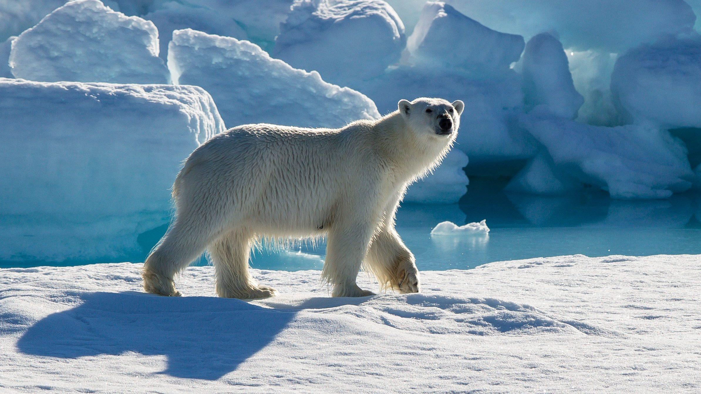 A Polar Bear A Gun And A Courtroom In Nunavut