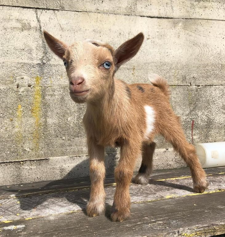 12 day old goat