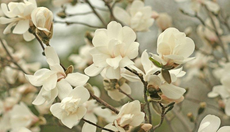 Magnolia merrell