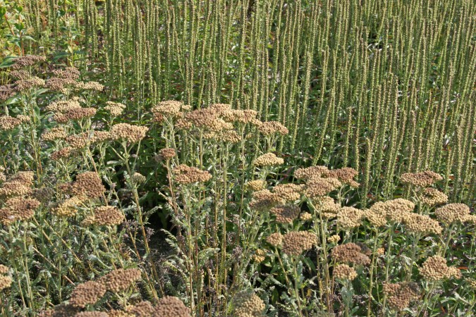 Achillea-and-Veronica'Evangeline'seedheads_Davis