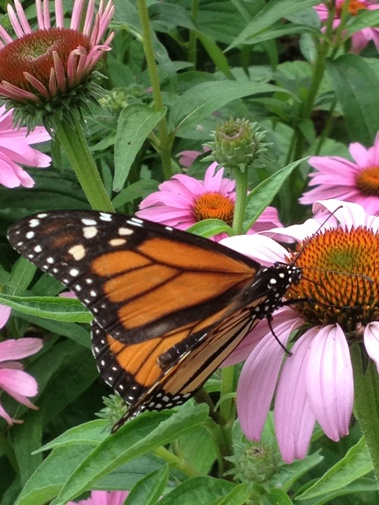 Monarch butterfly on Echinacea 'Magnus'