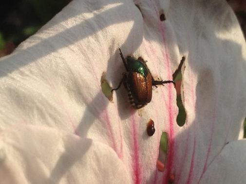 Japanese beetle on Hibiscus 'Kopper King' flower