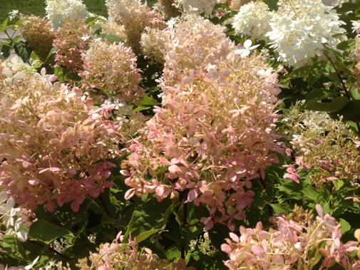 hydrangea paniculata 39 phantom 39 toronto botanical gardentoronto botanical garden. Black Bedroom Furniture Sets. Home Design Ideas