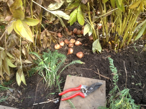 Prep before bulb planting in the Entry Garden Oct. 18 2012