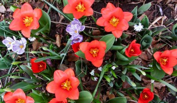 early tulips and crocuses