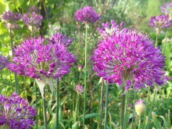 Allium hollandicum 'Purple Sensation' Perennial Border