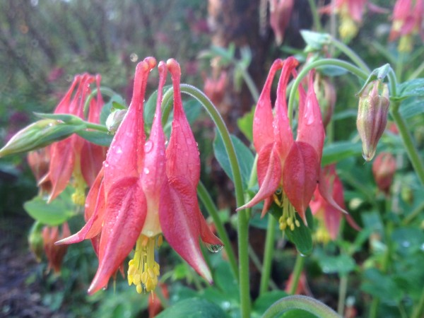 Aquilegia canadensis in the Nature Garden and Perennial Border