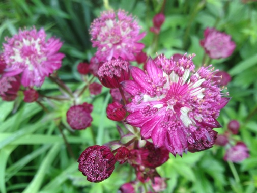 Astrantia major 'Star of Fire'
