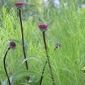Echinacea 'Solar Flare' in the Entry Garden