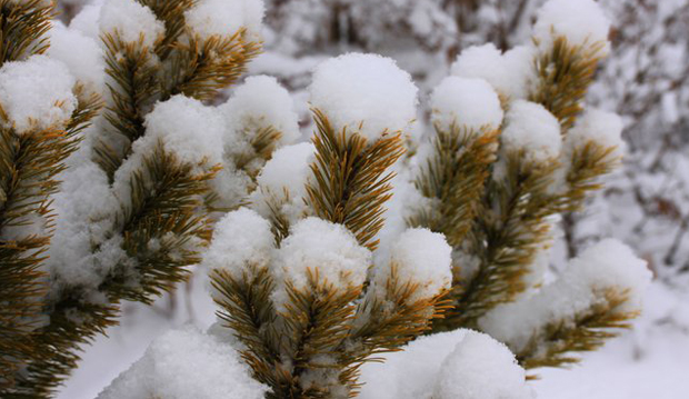 evergreens dusted with snow close up