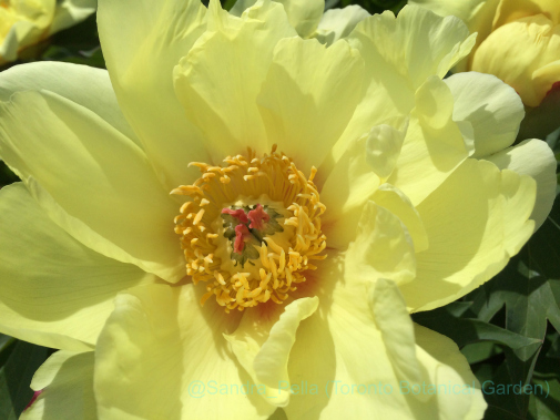 Paeonia 'Sequestered Sunshine'