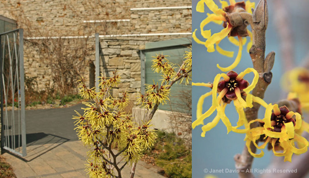 witch hazel , spring