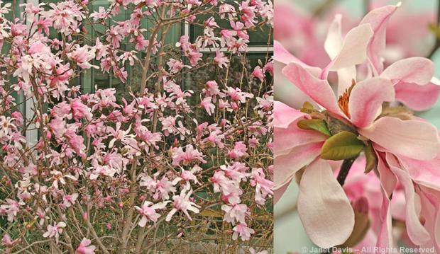 Magnolia 'Leonard Messel', spring