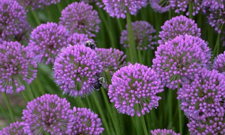 Plant Sale 2015 Allium Millenium credit Walters Garden
