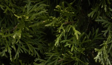 Close up of Thuja (arborvitae) leaves.