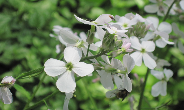 Dame's rocket (hesperis matronalis) bloom showing its 4 petals arranged in a cross shape
