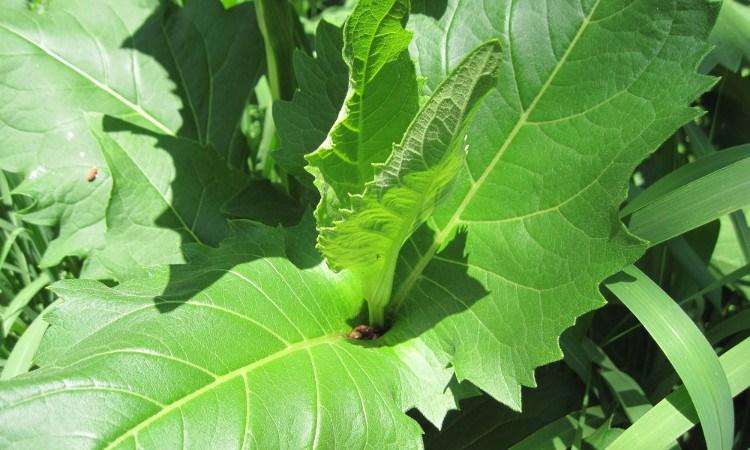 Silphium perfoliatum leaves, showing connate-perfoliate structure.
