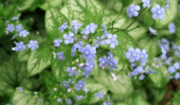 Brunnera flowers showing fornices