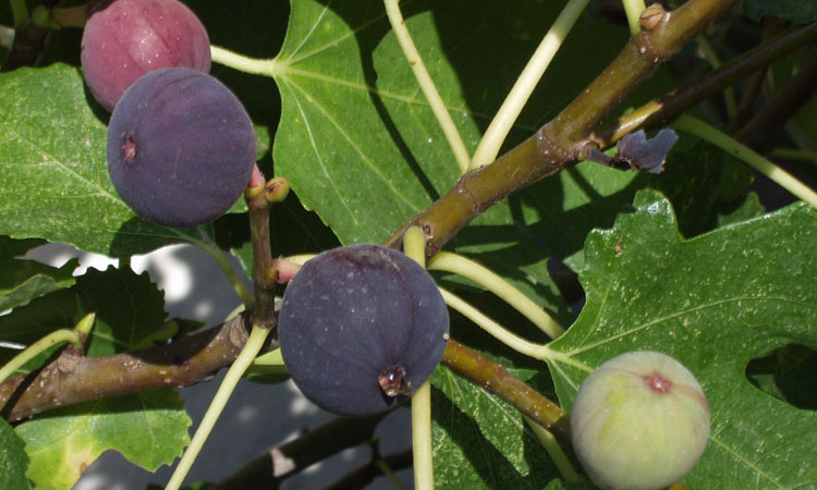 Yes, You Can Grow Figs