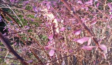 Berberis branch showing abnormal, flattened growth