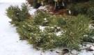 A procumbent cultivar of Scots Pine