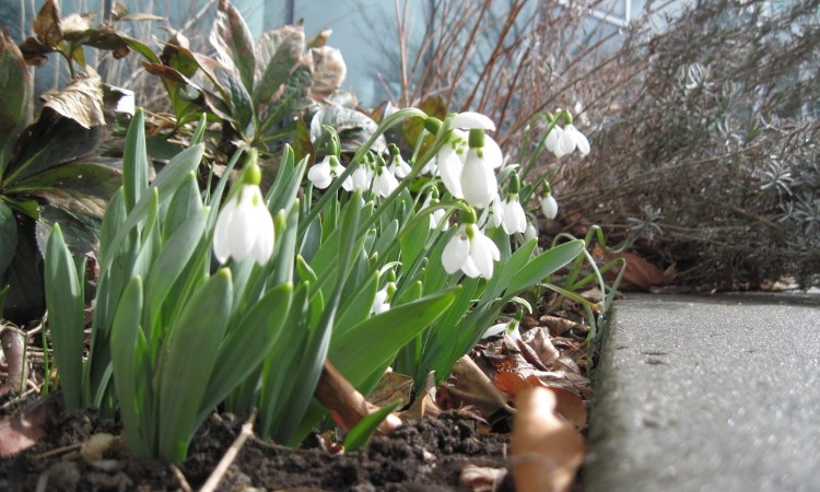 Snowdrops blooming in the Westview Terrace
