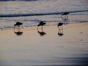 'Coronado Island Shorebirds' by photographer John Oughton.