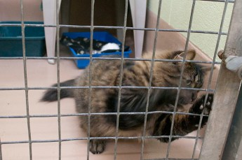 Liz White and a veterinarian at the shelter said, feral kittens as young as eight to ten weeks are theoretically tameable but such cases happen very rarely.