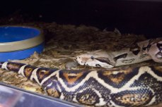 One of the snakes at All Reptiles